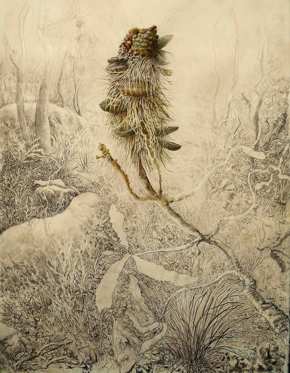 patric-shirvington-banksia-serrata-2-75-x-56-cm-oco-pencilwatercolour-on-arches-paper-2500