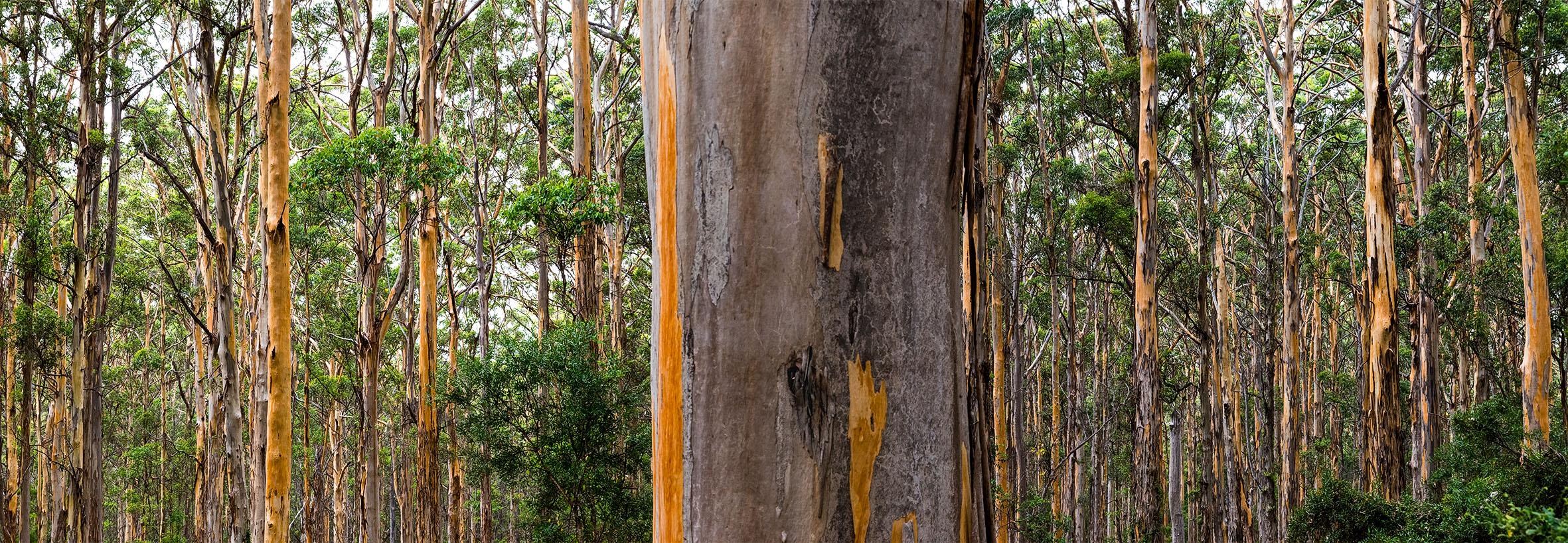 20 Boranup Karri Forest #1. WA. 2018