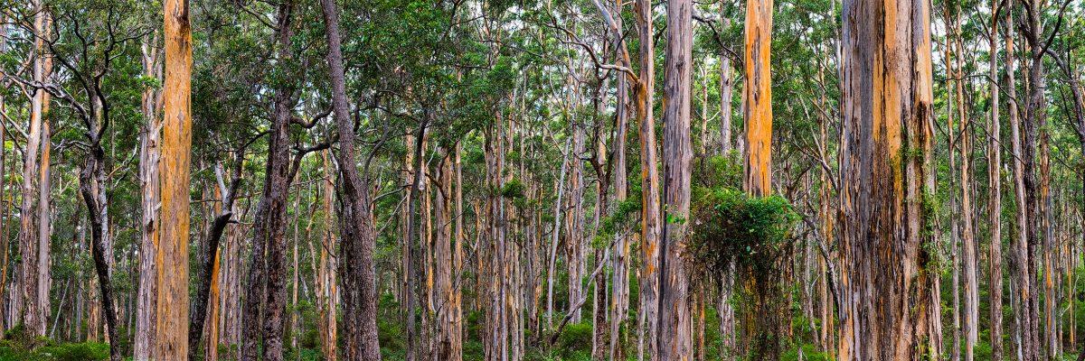 21 Boranup Kauri Forest #2. WA. 2018