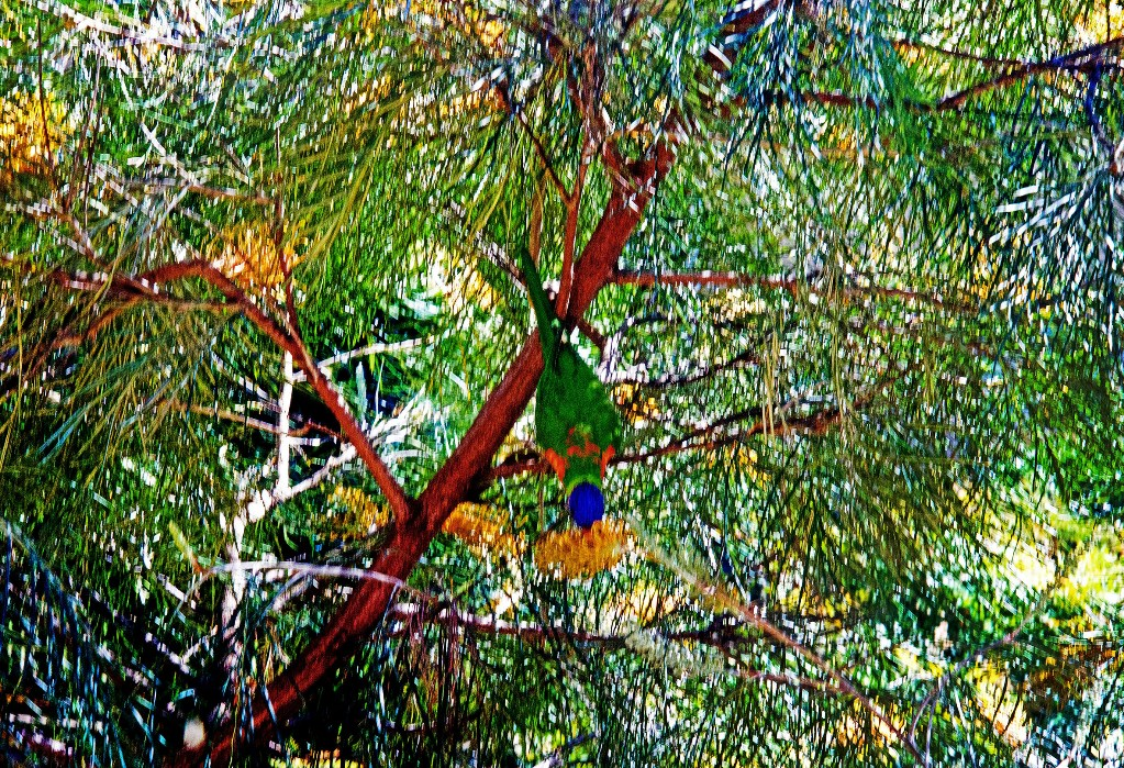 25 Lorikeet Grevillea. Brisbane. 2017 low res